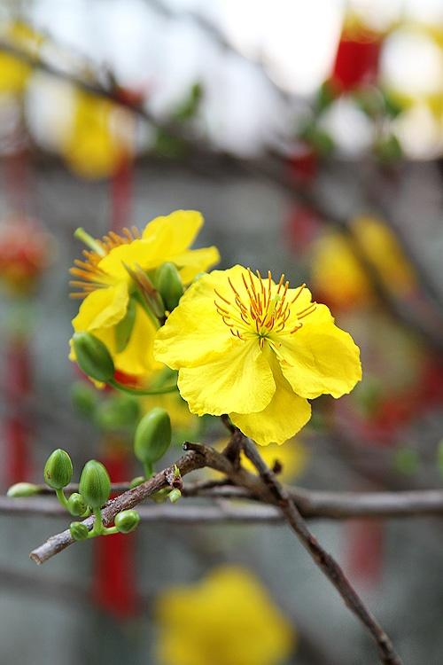 Ochna Flowers | My Photos - Tet ( Vietnam New Year ...