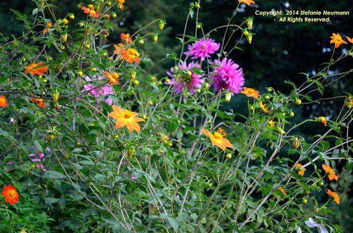 Stars in the Fields © Stefanie Neumann | Google+  -  Orange, pink and green in the #DahliaGardenHamburg.  #KBFPhotography #Dahlias