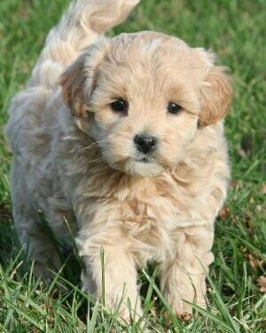 17 Best images about Pets on Pinterest   Poodles ...