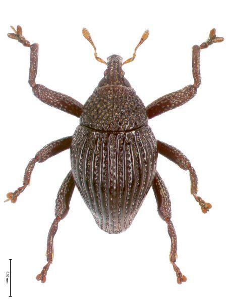 Der Rüsselkäfer Trigonopterus fissitarsis von der Insel Flores hat besondere...