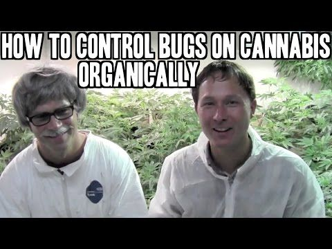 How to Control Bugs and Pests on Cann Organically - YouTube