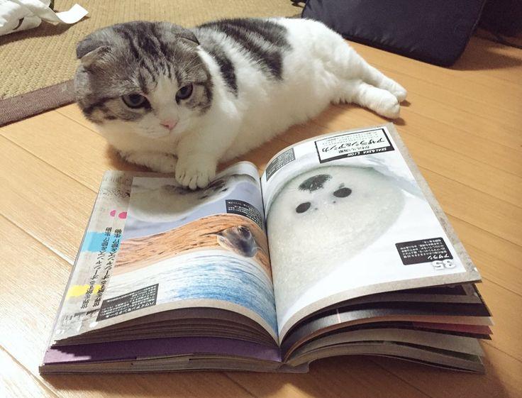マンチカンが可愛さの勉強をした結果wwwwwwwwwwwww