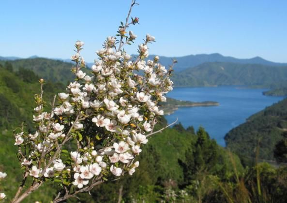 The Manuka Bush, Coromandel, New Zealand