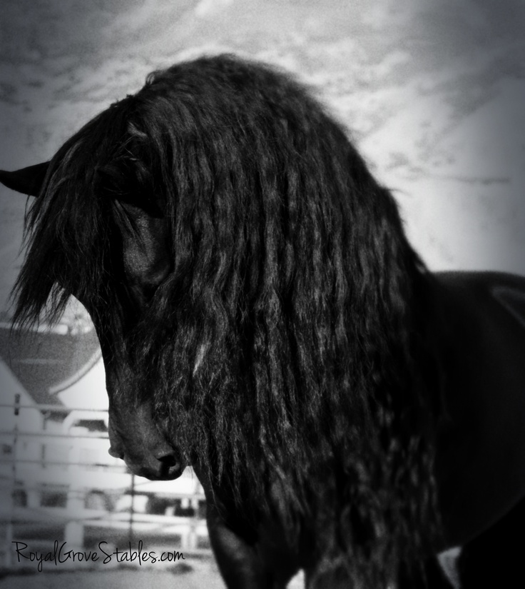 The Noble Friesian