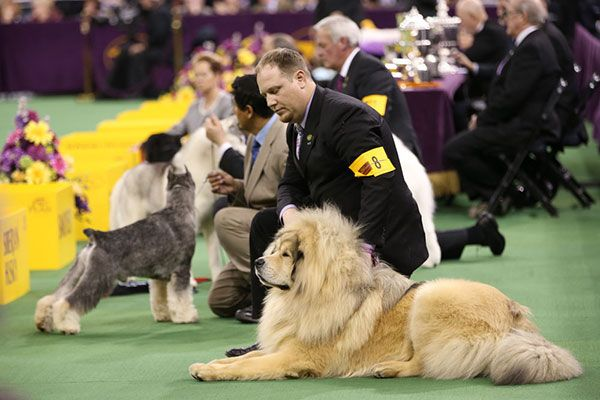 Westminster Dog Show Pictures 2014 - Cute Animal Pics
