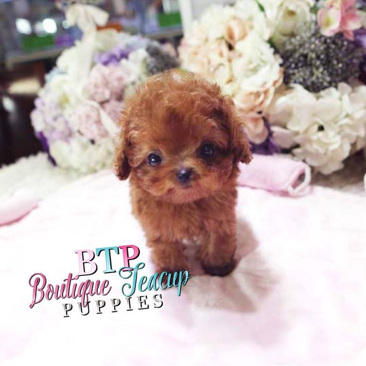 Poodle Puppies for Sale | Teacup, Micro & Tiny Poodle Puppies | White Teacup Poodles | Boutique Teacup Puppies