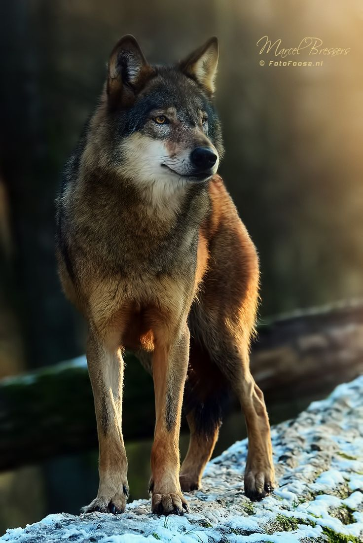 'Vantage Point' - Eurasian Grey Wolf overlooking her territory.
