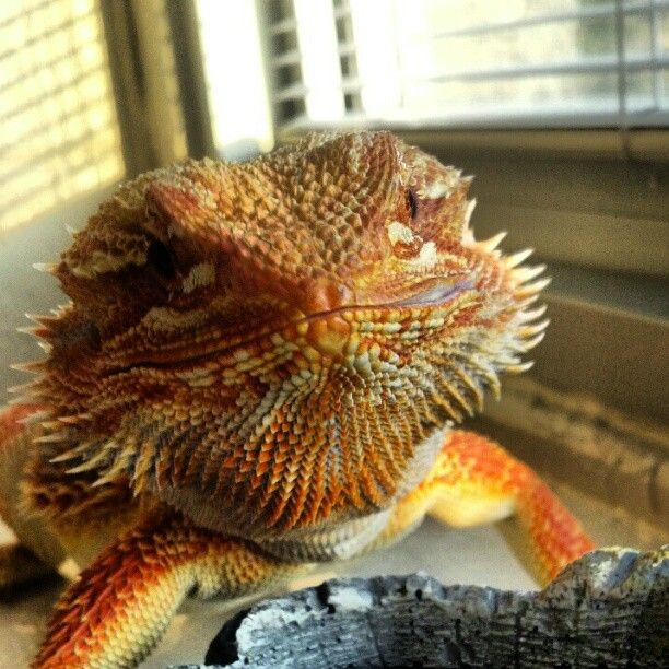 130 Best Best Pets Ever-Bearded Dragons! Images On