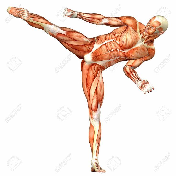 Illustration De L'anatomie Du Corps Humain De Sexe Masculin Isolé Sur Un Fond Blanc Banque D'Images, Photos, Illustrations Libre De Droits. Pic 12743633.