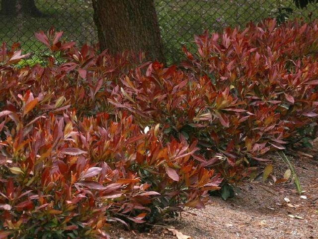 tristaniopsis laurina water gum burgundy blush 1