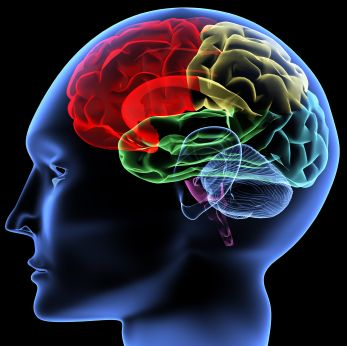 The main structures of the brain in colours