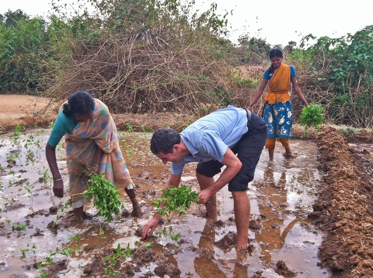 The power is only on for 3 hours in Kollegal, so when the water surged it was time to plant Tulsi! Seth rolled up his pants and jumped in to help these Fair Trade Certified Tulsi farmers.