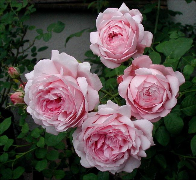 'Wife of Bath'[ Hybrid tea Mme Caroline Testout x Floribunda Ma Perkins x Constance Spry ] 1969.  Beautifully strong myrrh fragrance.