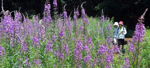 7日に夏期オープンした群馬県の赤城自然園(渋川市赤城町)のヤナギランが見頃を迎え、「四季の森・お花畑」エリアを赤紫色に染めている=写真。今月中旬まで楽しめるという。  【お知らせ】アプリ「上毛新聞AR」をインストールしたスマホやタブレット...