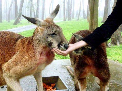 オーストラリアの動物で、まず思い浮かぶのは「コアラ」ではないでしょうか。彼らは1日の3分の2を睡眠に、残りを食事に費やすのんびり屋さんです。今回は、野生のコアラに会える?場所、南オーストラリア州の「アデレード・ヒルズ(Adelaide Hills)」をご紹介します。ワイナリーで試飲したり、童話の村を散策したり、コアラとハグしたり。人気の避暑地で、コアラのようにゆったりした時を過ごしませんか?