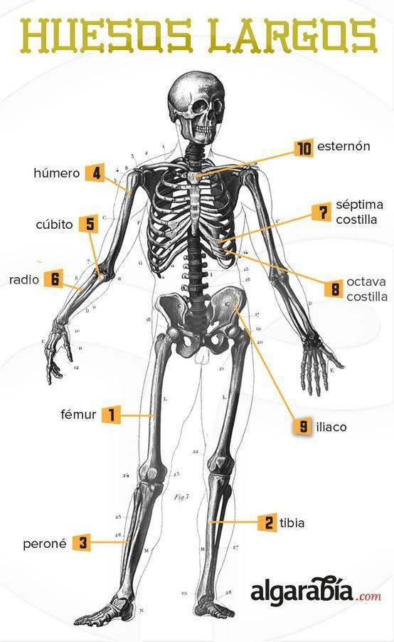 Los huesos más largos del cuerpo