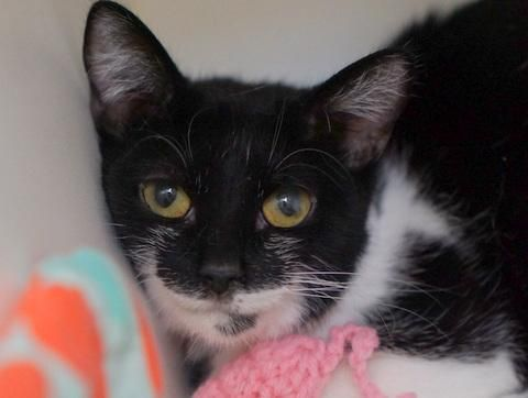 TINA - A1079890 - - Manhattan  Please Share:   *** TO BE DESTROYED 07/14/16 *** TRIO OF BLACK & WHITE BEAUTIES LOOKING FOR NEW HOMES!! TINA, PANDA & TAILS all get along with cats, they have even lived with a dog that ignored them…That's the good news. The bad news is that they were taken from a hoarder home. And you can see that they were not fixed. TINA is only 7 months old, while PANDA and TAILS are two. TAILS has a congenital defect in her tail wher