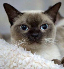 Tonkinese cat...these eyes...