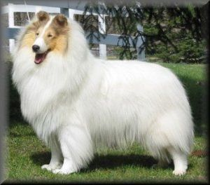Clarion Fire in the Sky - Rough Collie