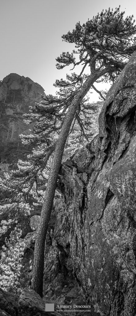Laricio pine seeking the sun, Calanca Murata, Bavella, Corsica, France, 2012 © Amaury Descours - All rights reserved