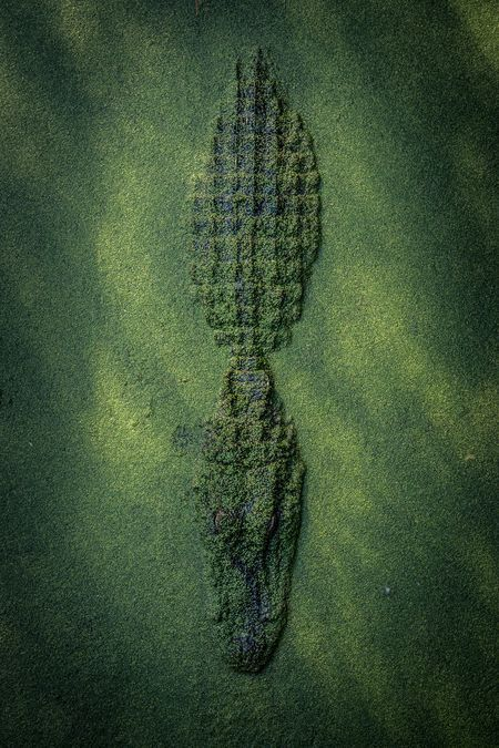 Gator waiting in Duckweed Photo by Cole Frechou — National Geographic Your Shot