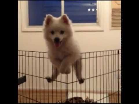 ▶ Japanese Spitz puppy climbs a fence - YouTube