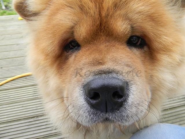 Nosy Chow Chow Bear     . For pet care facts visite: www.petcareadvisors.com