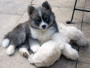 Pomsky - The Pomeranian Husky Mix — Not In The Dog House