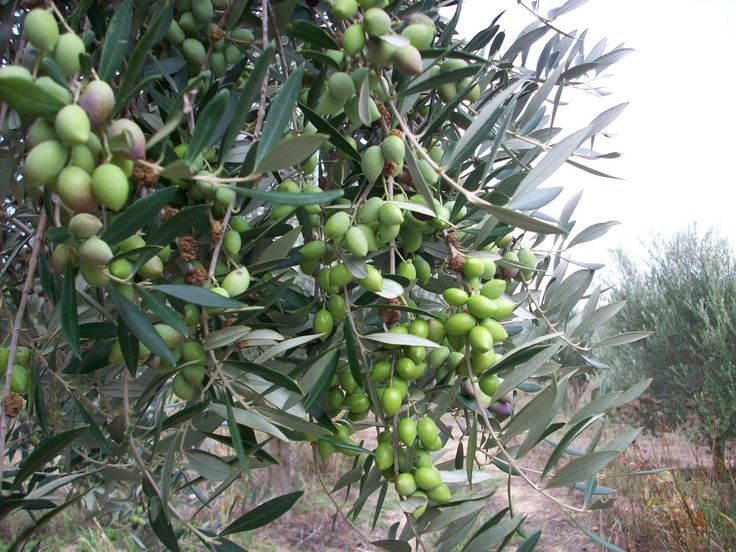 Olive tree full of olives