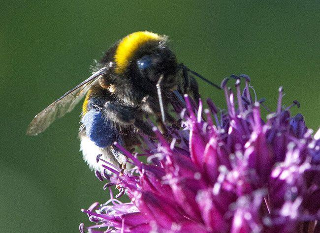 Toutes les précautions à prendre en cas de piqûre d'abeille : comment retirer le dard, désinfecter la plaie et agir selon les symptômes.