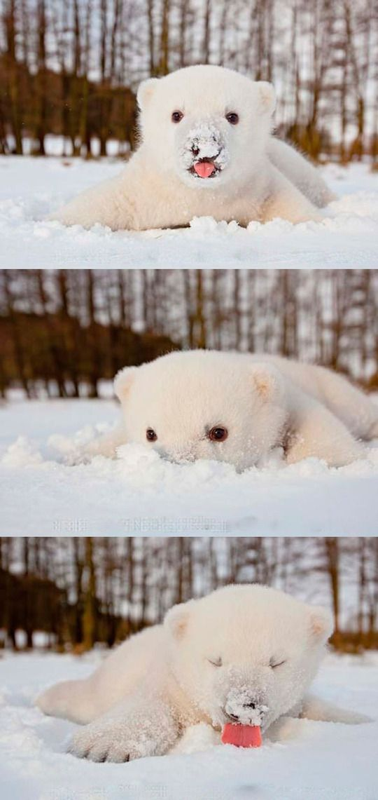 Baby polar bear playing in the snow.