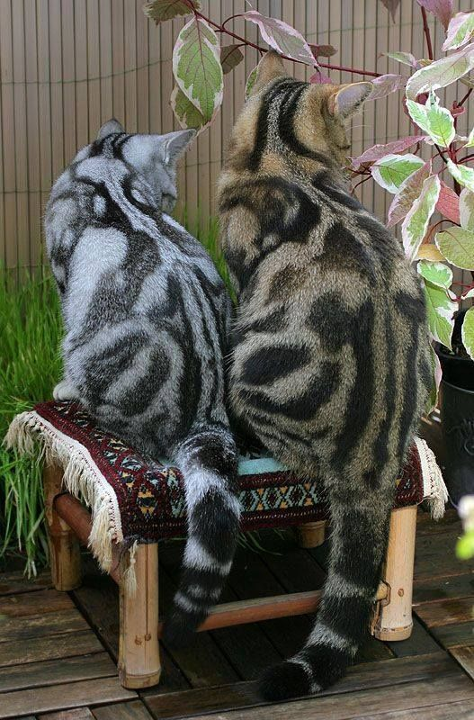 Marbled Bengals...gorge                                                                                                                                                     More