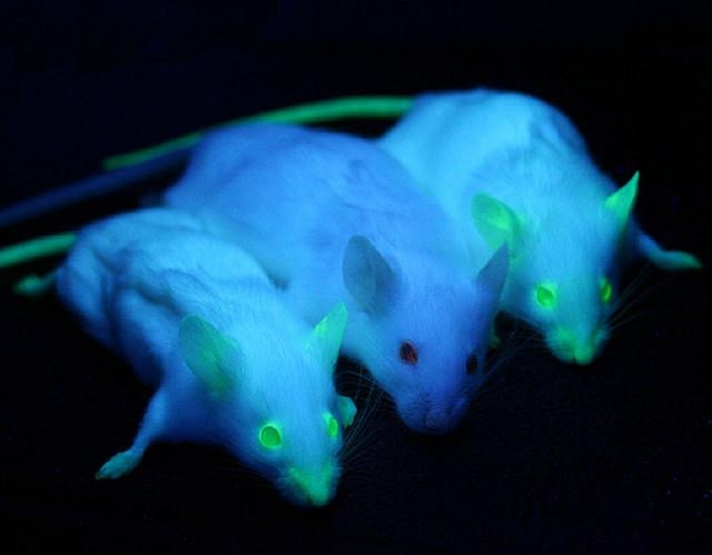 Glowing Mice  A normal mouse sits between two mice engineered to express green fluorescent protein.