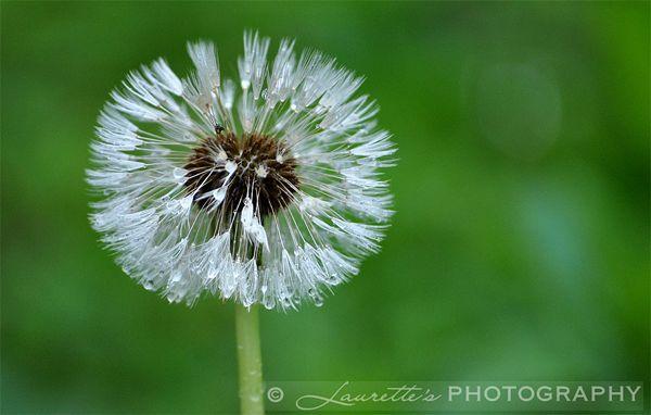 Wet Dandelion - Photograph