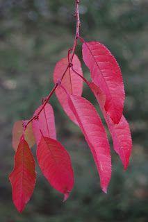"""Amerikanskt häggkörsbär Prunus pensylvanica """"Oulo"""" Svanå zon 7. Väldränerat och full sol."""