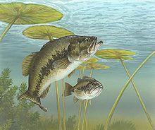 Largemouth bass - Wikipedia, the free encyclopedia