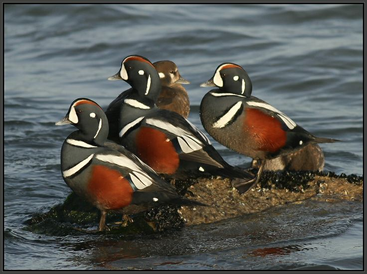 34 best images about Beautiful Harlequin Duck Photography ... - photo#42