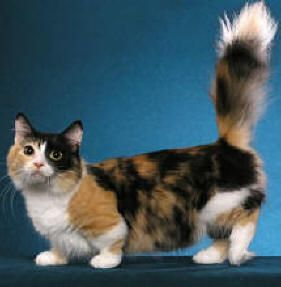 (These cats originally were a single mutation that people then capitalized on because they thought the short legs were 'cute.' Cats were built to jump and be lithe, not have daschund' legs. Munchkins are exploited.)
