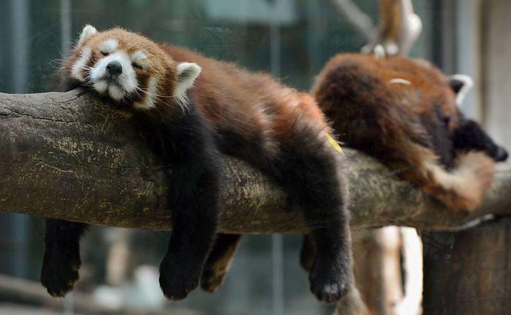 Pandas vermelhos tiram soneca em zoo de Pequim/ Red Pandas in China