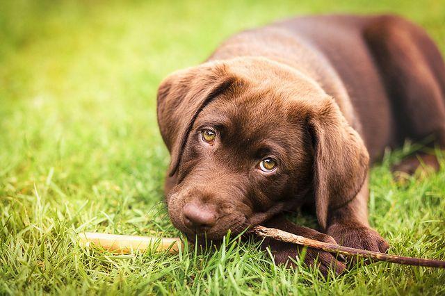 Ziggy 11 wks old   Flickr - Photo Sharing! Chocolate labrador puppy