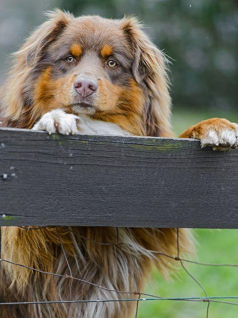 Cute fluffy dog looking over the bareer | Flickr: Intercambio de fotos