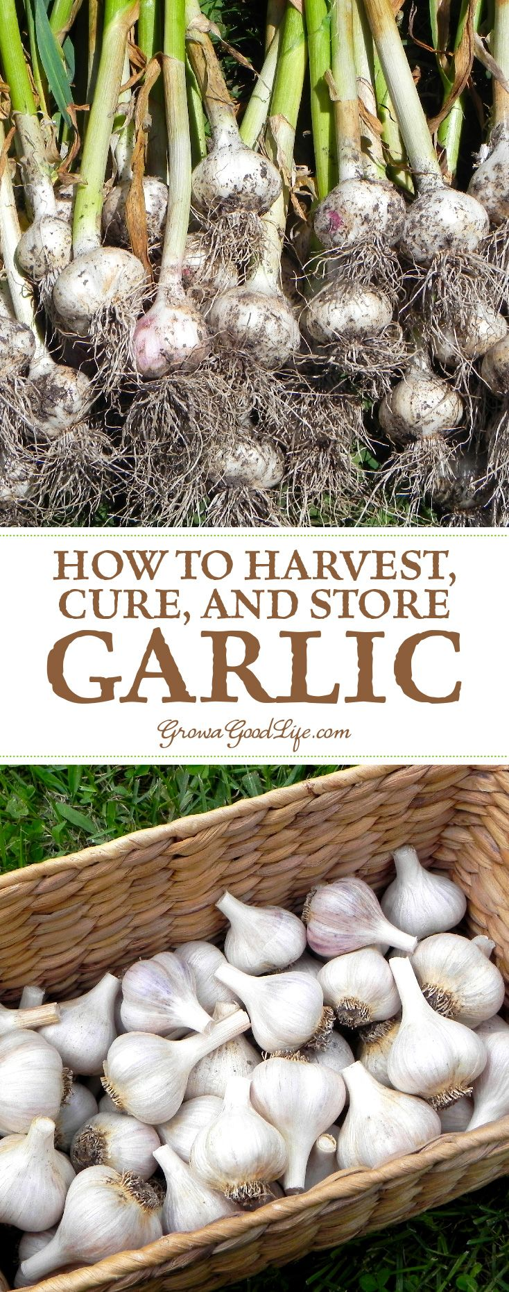 It is always a delicate balance between allowing the garlic to mature to their fullest and going too far. Lifting the garlic too early will result in undersized bulbs that won't store well. Harvesting too late and you risk the bulbs splitting through their skins leaving them unprotected and unable to withstand long term storage.