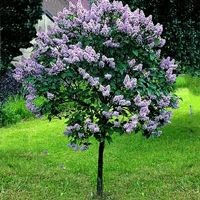 Dwarf Korean Lilac Trees | Buy online at Nature Hills Nursery: Syringa Meyeri 'Palibin' Dwarf Korean Lilac Tree Form Foliage Deep Green Mature Height 5 - 6 feet Mature Spread 5 - 6 feet Soil Widely Adaptable Zones 4-7 Moisture Widely Adaptable Mature Form Round Growth Rate Slow Sun Exposure Full Sun Flower Color Pale Purple Fall Color Insignificant Bloom Period Spring