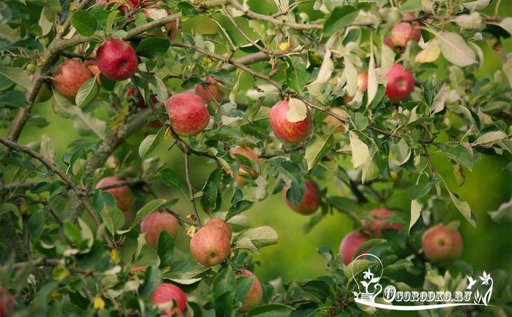 Осыпаются яблоки - подкормите дерево.    Каждый садовод знает, что правильная и своевременная подкормка плодовых деревьев является залогом их здоровья и успешного плодоношения.    Яблони желательно подкармливать четыре раза на протяжении всего садового сезона: весной во второй половине апреля, при начале цветения яблони, в период наливания плодов, и последнюю подкормку делают после окончательной уборки урожая.    Важно правильно определить зону подкормки яблони. Она начинается на расстоянии…
