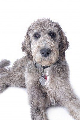 Standard Poodle Great Dane Mix could be Olivers brother or sister!