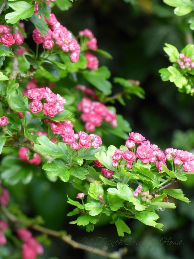 17 Best Images About Celtic Tree Hawthorn On Pinterest