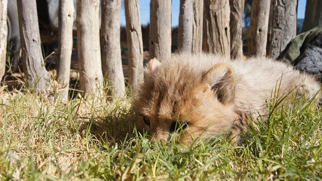 Cheetah cub almost two months old