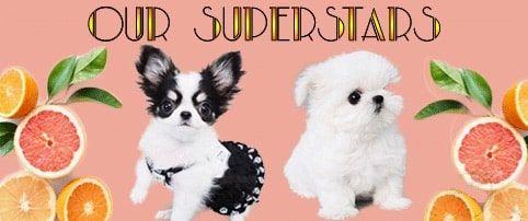Rare Micro Teacup Puppies for sale near me - Posh Pocket Pups