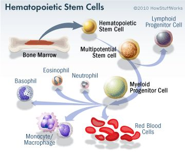 blood stem cell research and sources Hematopoietic stem and progenitor cell research  below to learn more about  how to source, culture and analyze the biology of these important cells.