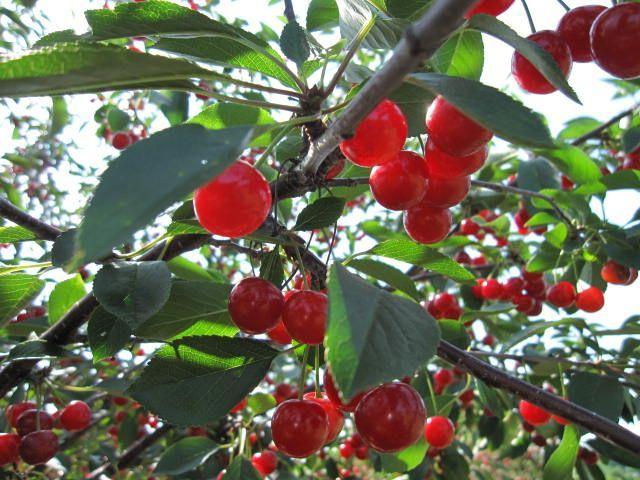 Egg Harbor WI Door County Cherries